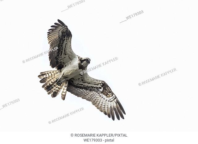 An osprey in flight over Forellenhof Trauntal
