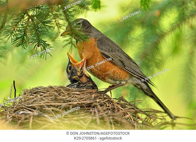 American robin (Turdus migratorius) Adult and gaping baby, Greater Sudbury, Ontario, Canada