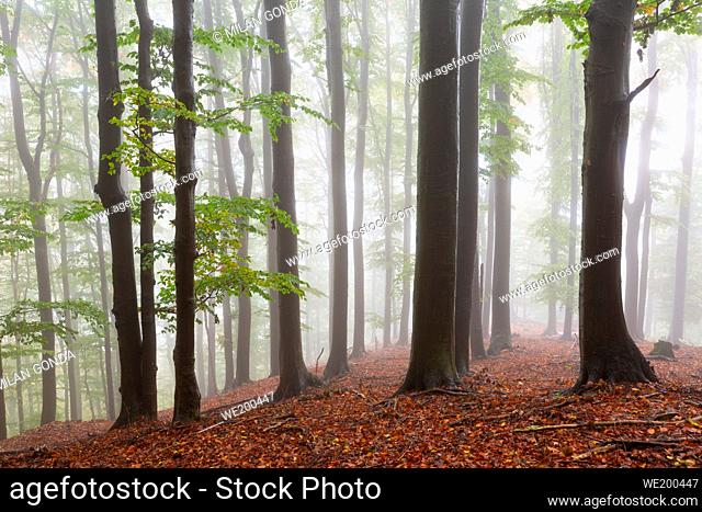 Beech forest in Mala Fatra national park on a foggy morning, Slovakia