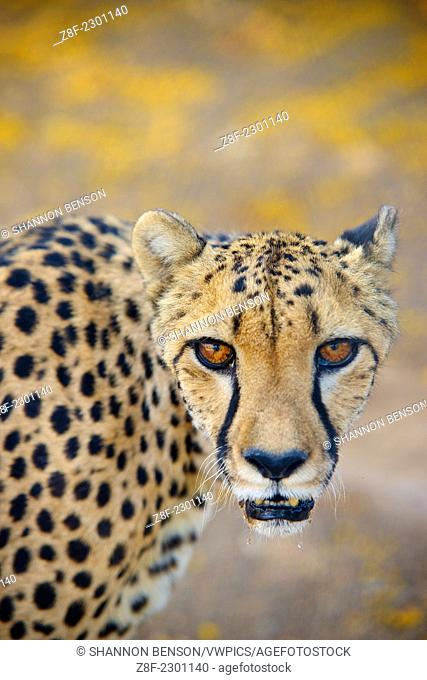 Cheetah (Acinonyx jubatus) portrait with yellow flowers in the background. Namibia, Africa