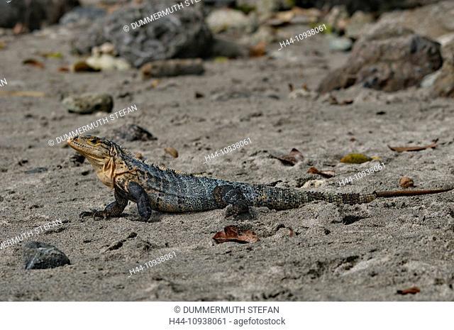 Spiny-tailed, Iguana, iguana, Ctenosaura, similis, lizard, lizards, reptile, reptiles, scale, scales, animal, animals, fauna, wildlife, wild, animal, wild