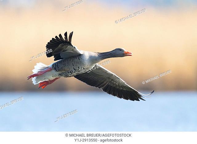 Greylag goose, Anser anser, Germany, Europe