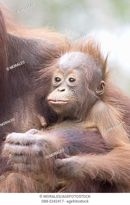 Asia, Indonesia, Borneo, Tanjung Puting National Park, Bornean orangutan (Pongo pygmaeus pygmaeus), Adult female with a baby, detail