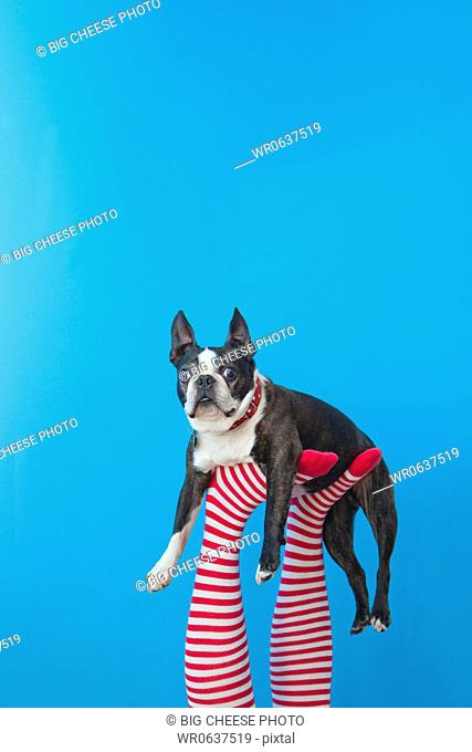 Legs in striped socks with colorful shoes holding dog