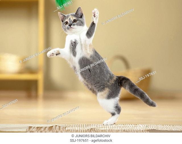 British Shorthair. Kitten playing with a feather toy. Germany