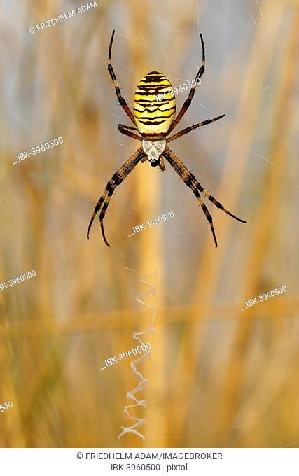 Wasp Spider or Orb-weaving Spider (Argiope bruennichi) on a spider's web, Burgenland, Austria