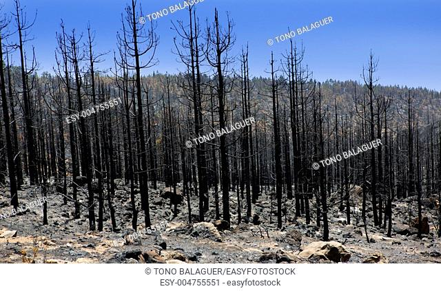 Black ashes of canary pine after forest fire at Teide National park in summer 2012