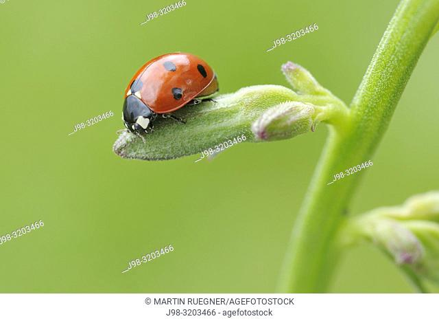 Seven spot Ladybird (Coccinella septempunctata). Franconia, Bavaria, Germany