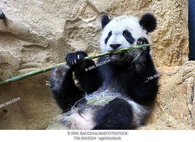 Giant panda cub (Ailuropoda melanoleuca) playfully chewing a bamboo stick. Yuan Meng, first giant panda ever born in France