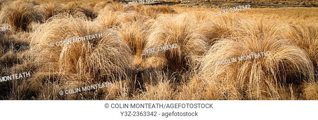 Frosted tussock grass panorama, Castle Hill Basin, Porter's Pass, Canterbury