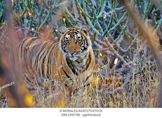 Asia,India,Rajasthan,Ranthambore National Park,Bengal tiger (Panthera tigris tigris),young one year old