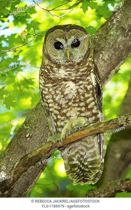 North America, USA, Arizona, Miller's Canyon  Mexican Spotted Owl