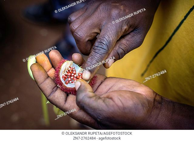 A boy holds in his hand a fruit of Achiote, or Lipstick tree, at a spice farm on Zanzibar island, Tanzania. The fruit is used for making red body paint and...