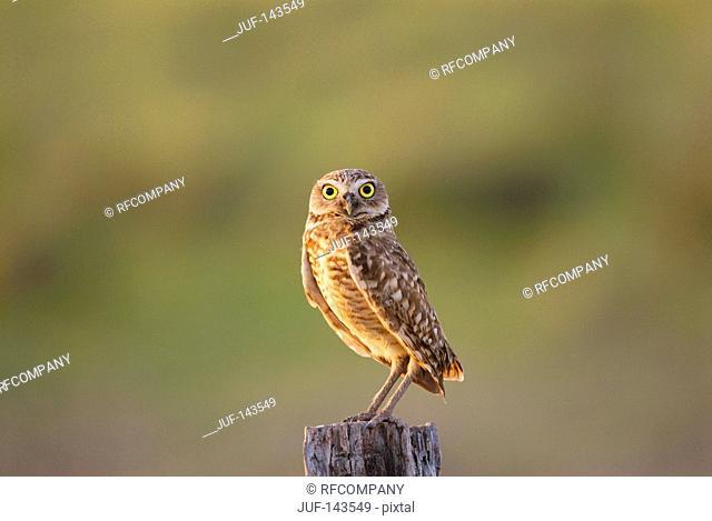 Burrowing Owl / Athene cunicularia
