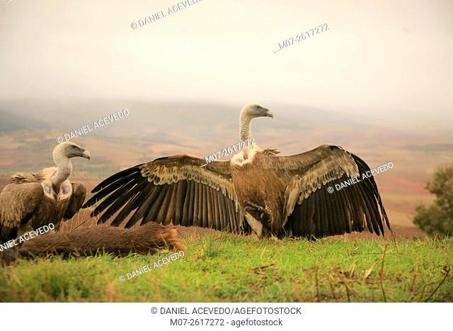 Vultures eating carrion, Ibérico Range Mountains, La Rioja, Spain, Europe