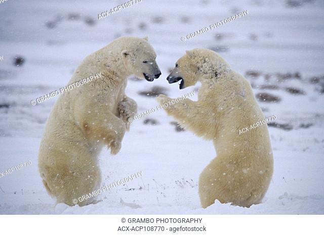 Male Polar Bears, Ursus maritimus, spar near Churchill, Manitoba Canada