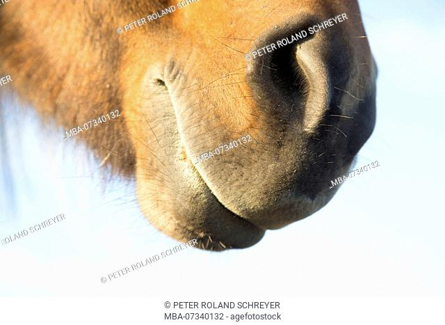 Iceland, brown Icelandic horse, detail, mouth and nostrils