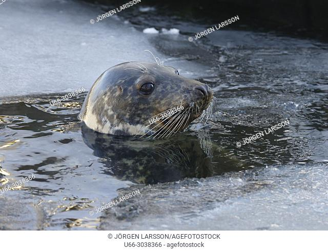Grey seal (Halichoerus grypus), Baltic sea, Sweden