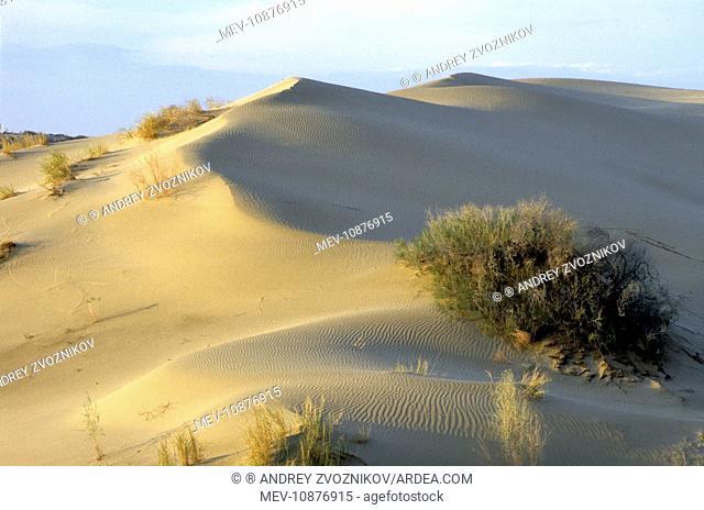 Saxaul Trees - on wind-shaped sand dunes (Haloxylon sp.). Karakum desert - Turkmenistan - Spring - April