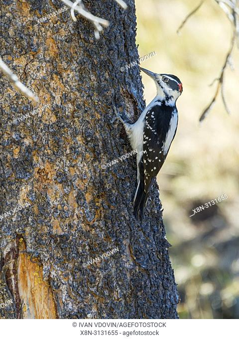 Hairy woodpecker, Leuconotopicus villosus, Yellowstone National Park, USA
