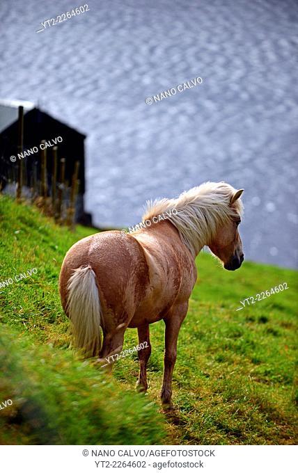 Beautiful domestic horses in the Faroe Islands