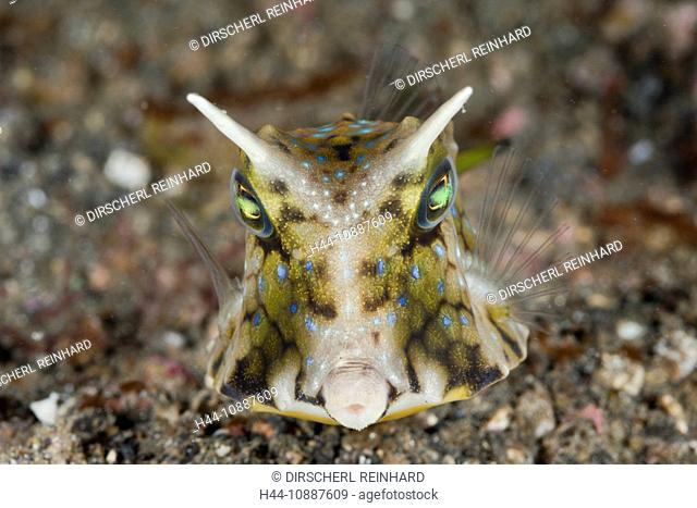 Longhorn Boxfish, Lactoria cornuta, Lembeh Strait, North Sulawesi, Indonesia