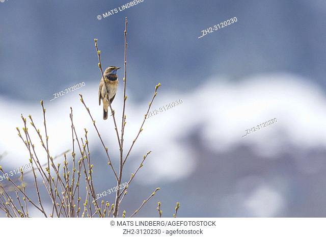 Bluethroat, Luscinia svecia sitting in a birch tree, Stora sjöfallets national park, Gällivare county, Swedish Lapland, Sweden