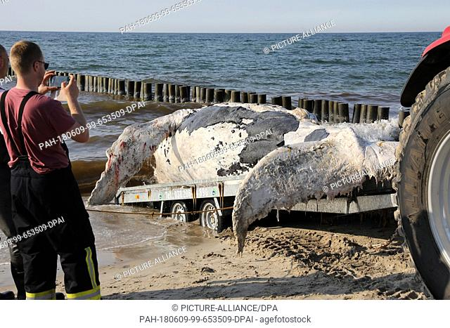 09 June 2018, Germany, Graal-Mueritz: A dead whale is dragged onto a beach at the Baltic Sea and removed. According to experts from the German Oceanographic...