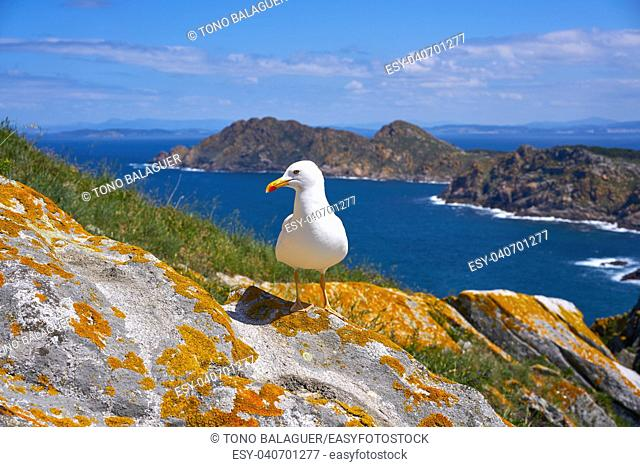 Islas Cies islands seagull sea gull bird in Galicia at Spain