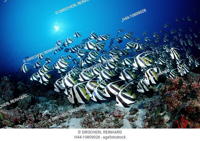 action, Ari atoll, diving, Heniochus diphreutes, holiday, holidays, Indian ocean, live, Maldives Islands, marine, mo