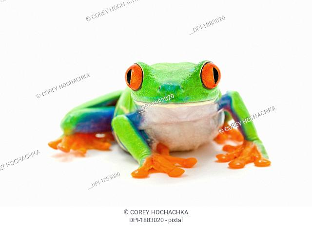 Red-Eyed Tree Frog Agalychnis Callidryas