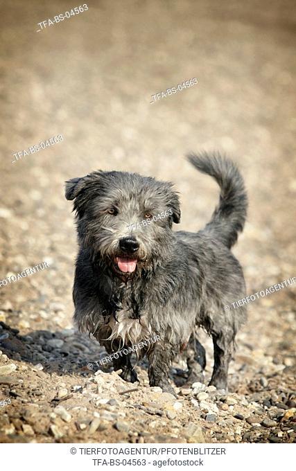 Irish Glen of Imaal Terrier