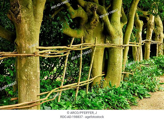 Fence of limbes, West Dean Garden, West Sussex, England