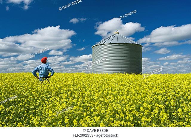Farmer in bloom stage mustard field with grain bin, ponteix saskatchewan canada