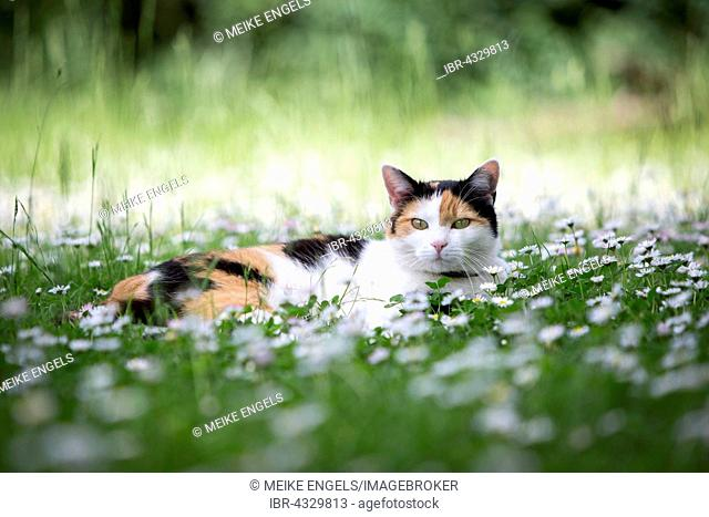 Calico cat (Felis silvestris catus) lying in a meadow with daisies (Bellis perennis), Germany