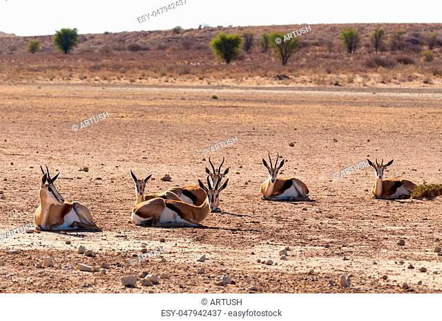 resting herd of springbok in sunny day in dry Kgalagadi desert - Kalahari Transfontier park, South Africa safari wildlife and wilderness