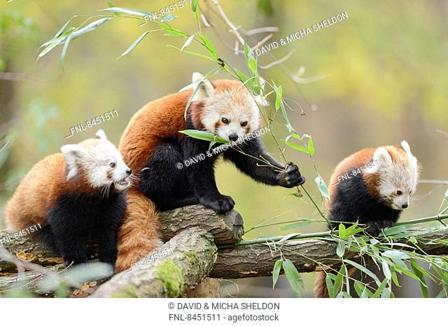 Two red panda (Ailurus fulgens) youngsters with mother on a bough
