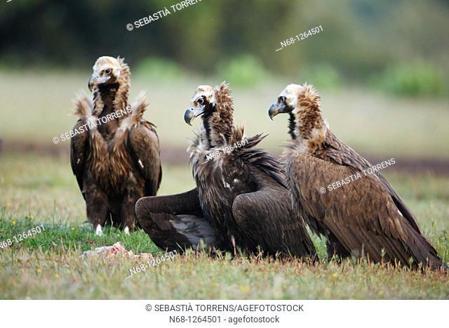 Three Black Vultures Aegypius monachus at Monfragüe, Caceres, Extremadura, Spain