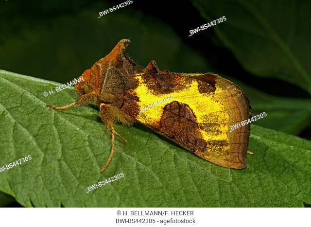 Burnished brass (Diachrysia chrysitis, Plusia chrysitis, Phytometra chrysitis), sitting on a leaf, Germany