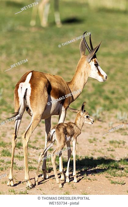Springbok (Antidorcas marsupialis). Ewe with its just a few hours old lamb. During the rainy season in green surroundings