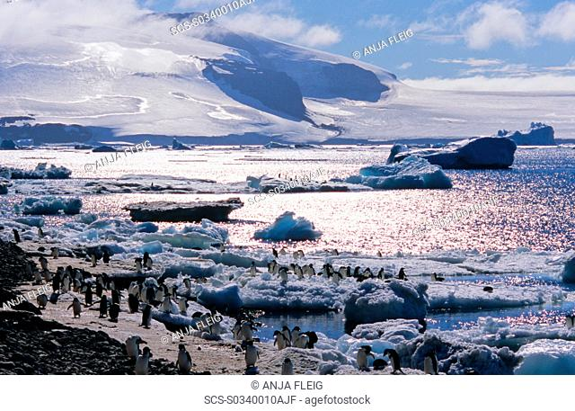 Huge colony of AdÈlie Penguins Pygoscelis adeliae shuttling food from the sea to the hungry chicks ashore Paulet Island, Weddell Sea
