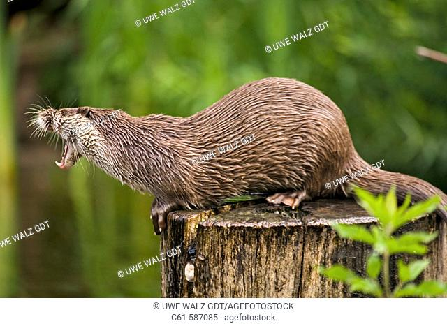 European River Otter (Lutra lutra)