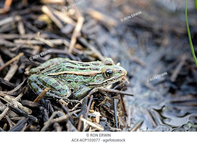 Northern Leopard Frog (Lithobates pipiens), Barrie Island, Manitoulin Island, Ontario, Canada