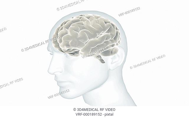Animation showing the human brain in situ within a transparent male head. The camera pans around from right to left