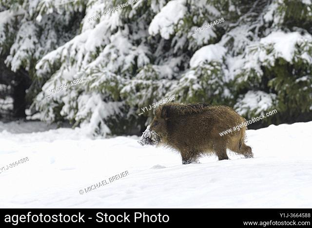 Wild boar (Sus scrofa) in wintertime, Germany, Europe