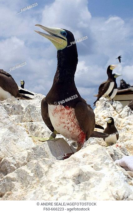 Injured brown booby, Sula leucogaster,  St. Peter and St. Paul's rocks, Brazil, Atlantic Ocean