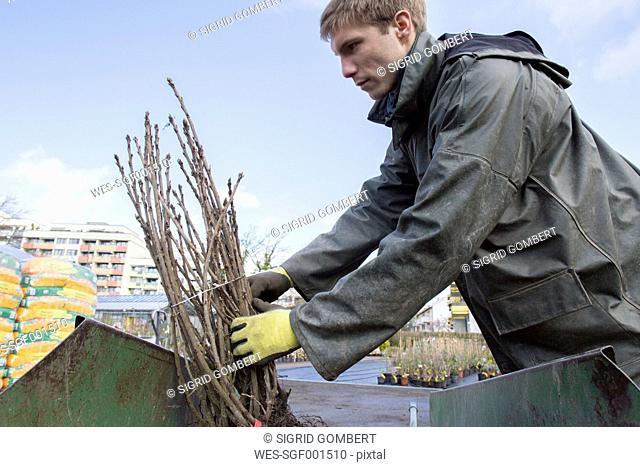 Young gardener at work, carrying shrub