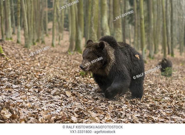 European Brown Bears / Europaeische Braunbaeren ( Ursus arctos ), young grown-ups, roaming through autumnal woods, Europe