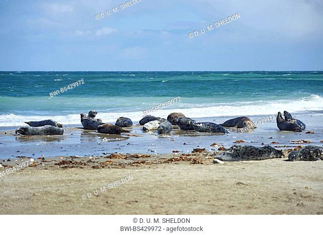 gray seal (Halichoerus grypus), lying on the beach in spring, Germany, Schleswig-Holstein, Heligoland