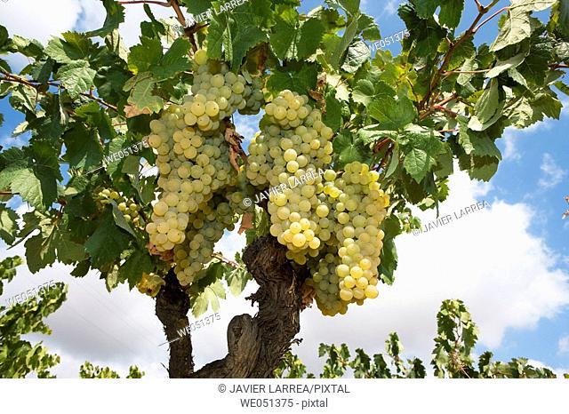 Viura (aka Macabeo) vineyard near Laguardia. Rioja Alavesa, Álava, Euskadi, Spain